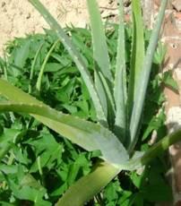 Artigo plantas medicinais